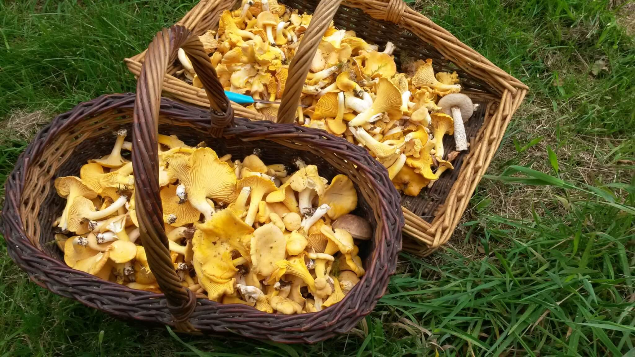 chanterelle mushrooms foraged in the woods
